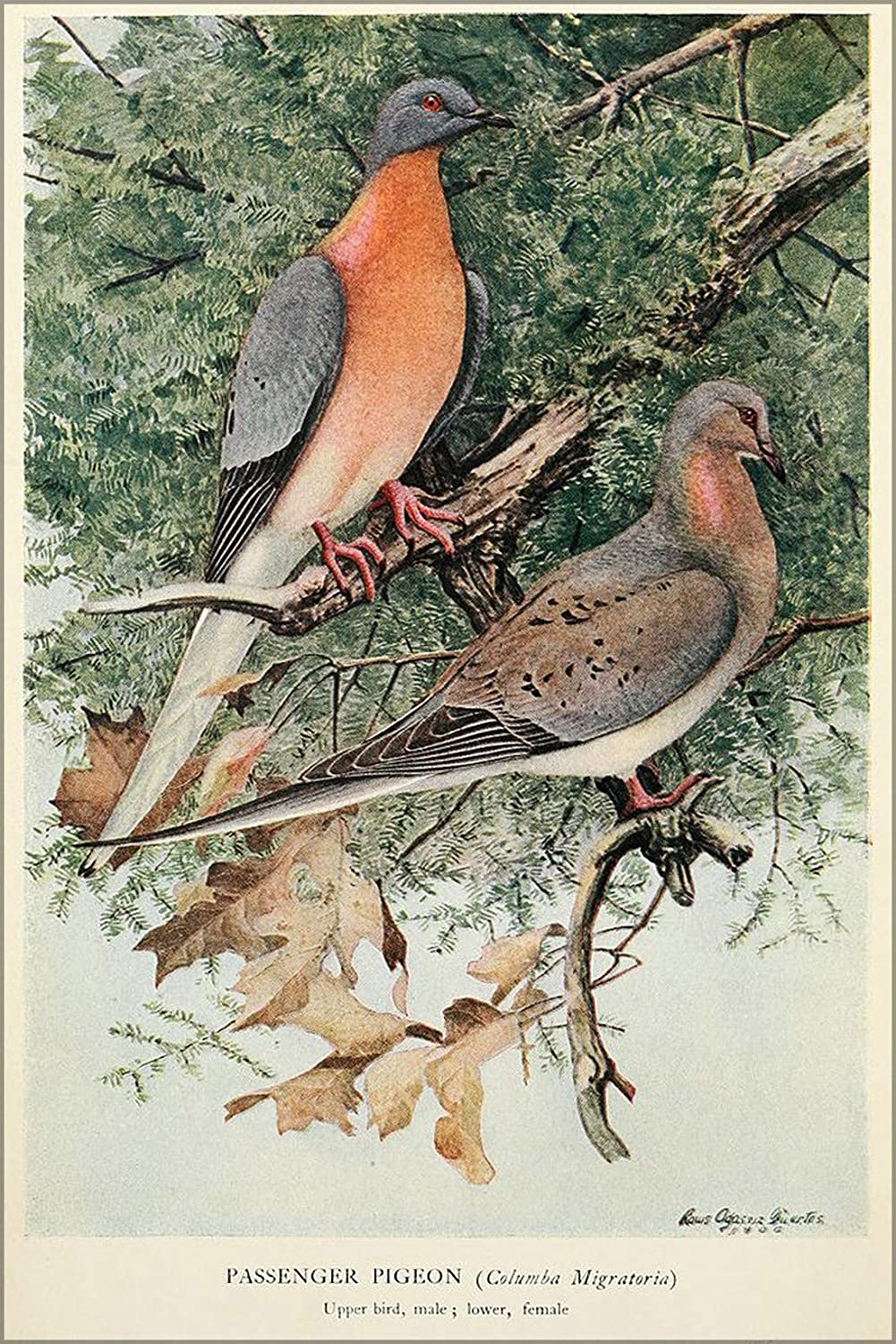 The Passenger Pigeon, 1907