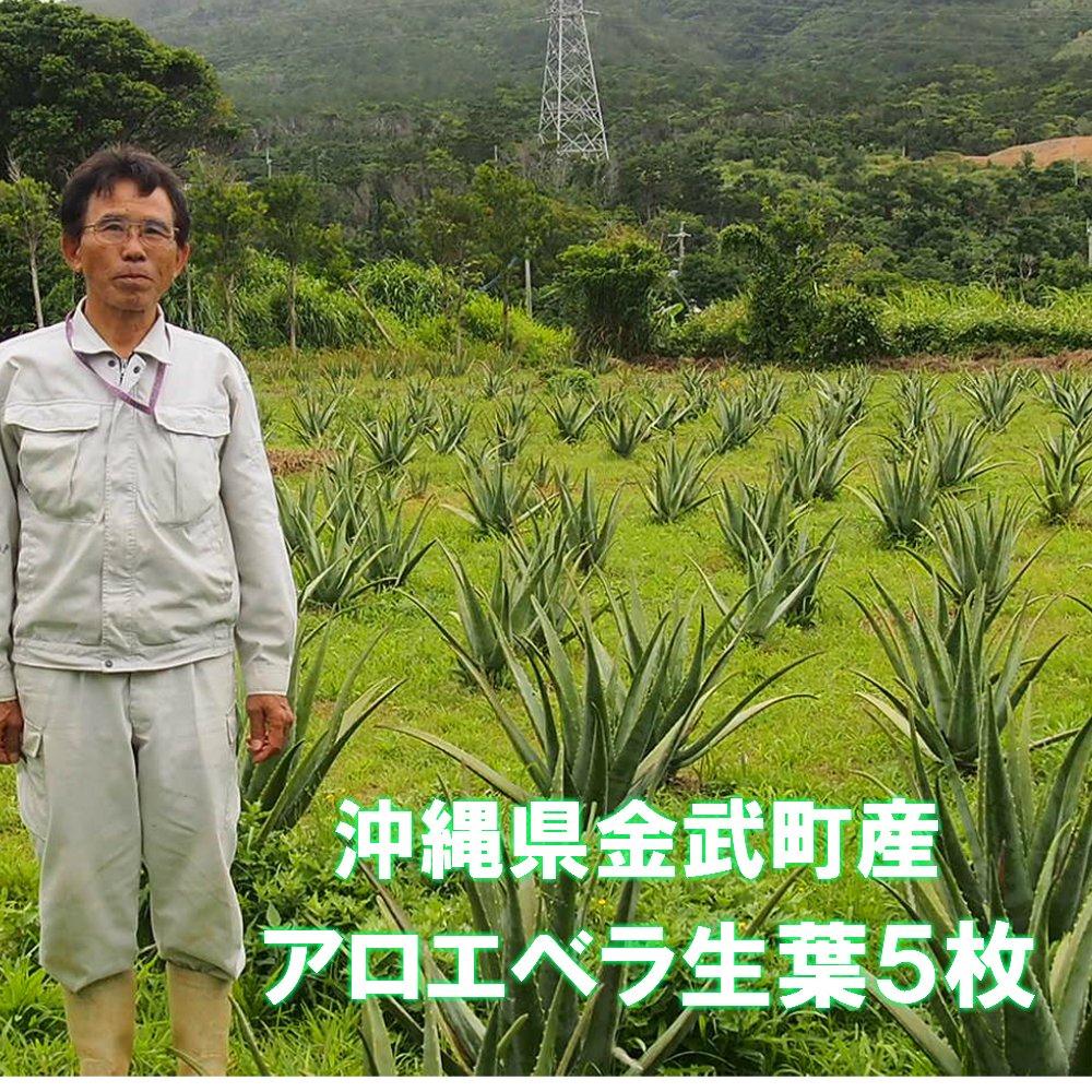 食用アロエベラ生葉5本(2~3キロ)沖縄県金武町屋嘉で栽培しています。EM発酵栽培