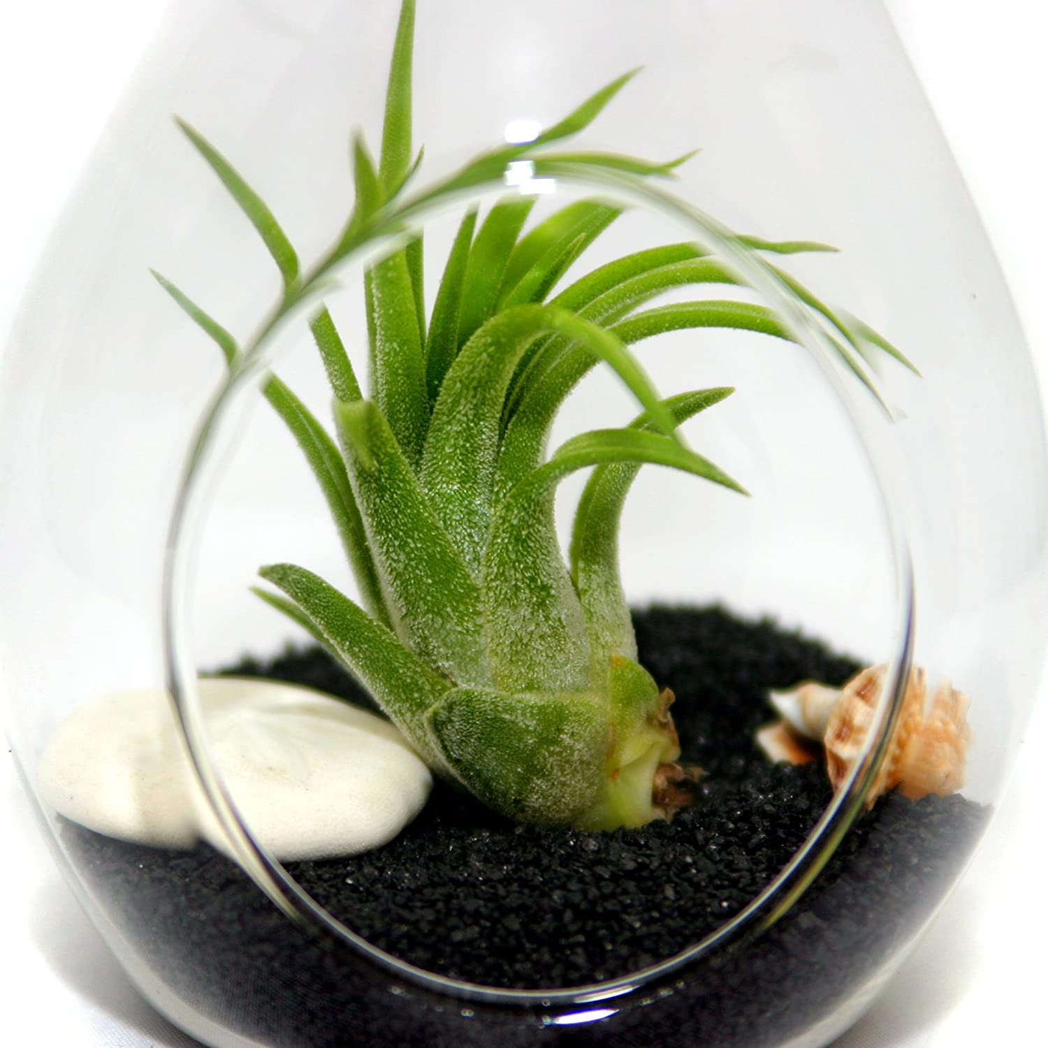 Air Plants Tillandsia Teardrop Beach Terrariums - 3 Complete Kits with sand, shells, sea biscuits, starfish, ionantha air plants