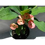 Pink Euphorbia Crown of Thorns Plant in 6