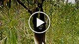 Island Of Lemurs: Madagascar: Singing Haunting Duets