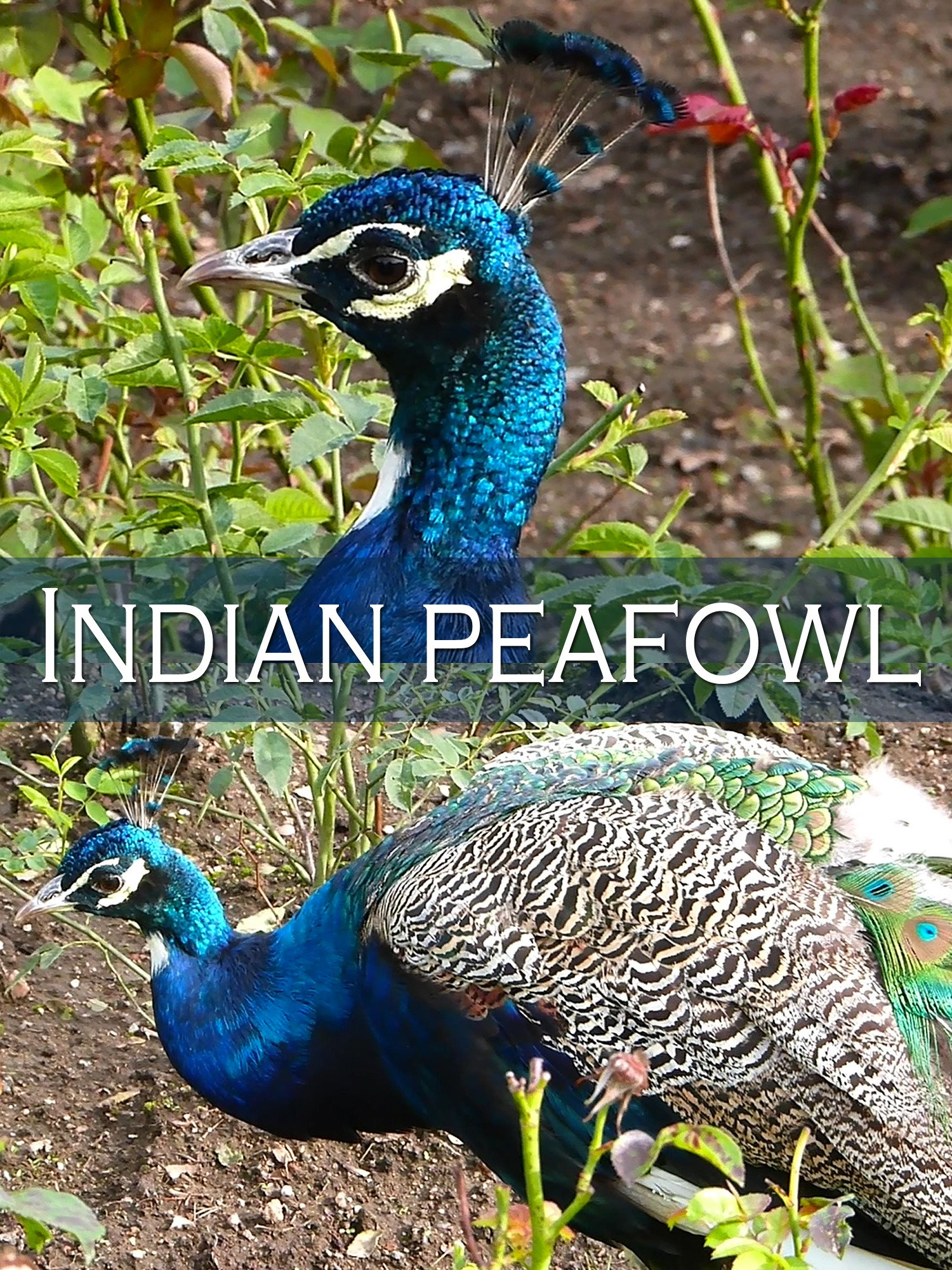 Indian peafowl on Amazon Prime Instant Video UK
