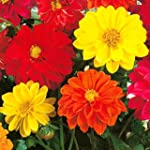 Pepper Agro Pepper Agro Mixed Dahlia Beauty Seeds
