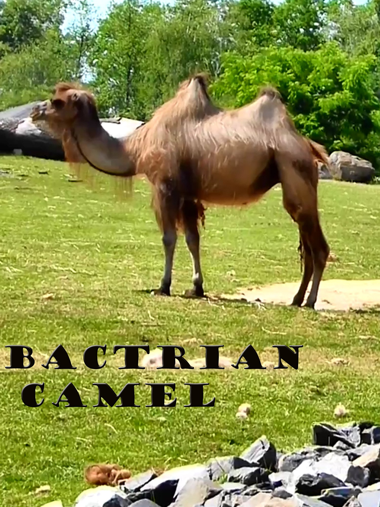 Clip: Bactrian camel on Amazon Prime Instant Video UK