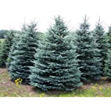Blue Spruce – Colorado Blue Spruce - Picea pungens– Healthy Established Roots - 3 Plants by Growers Solution