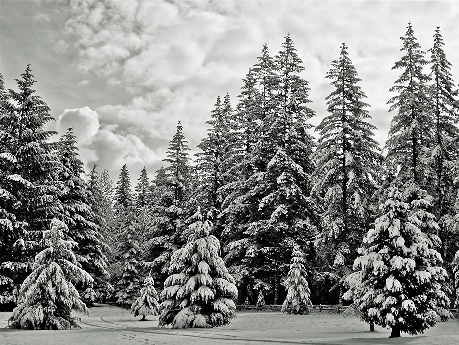 Snowy White Pine Forest