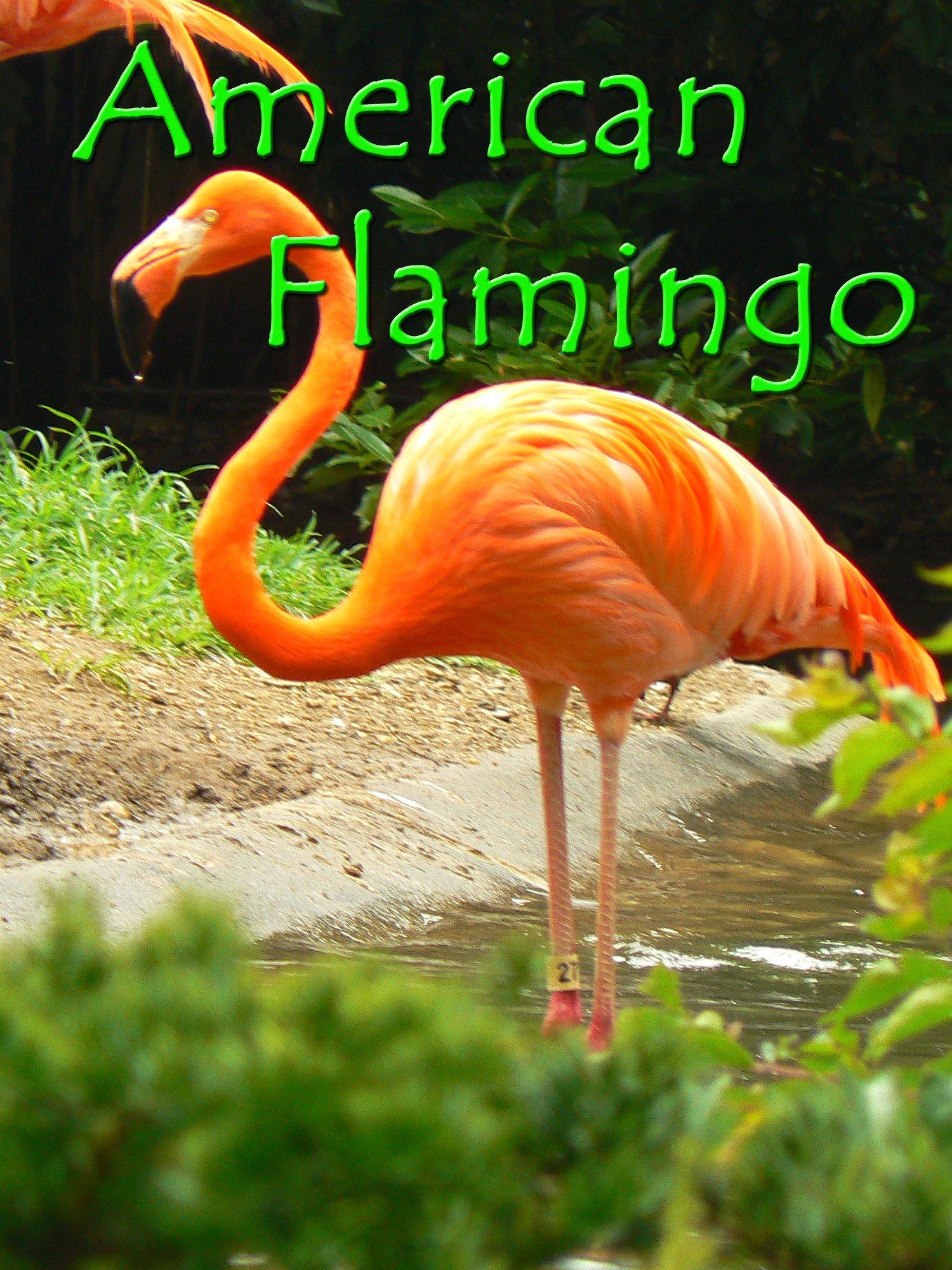 Clip: American Flamingo