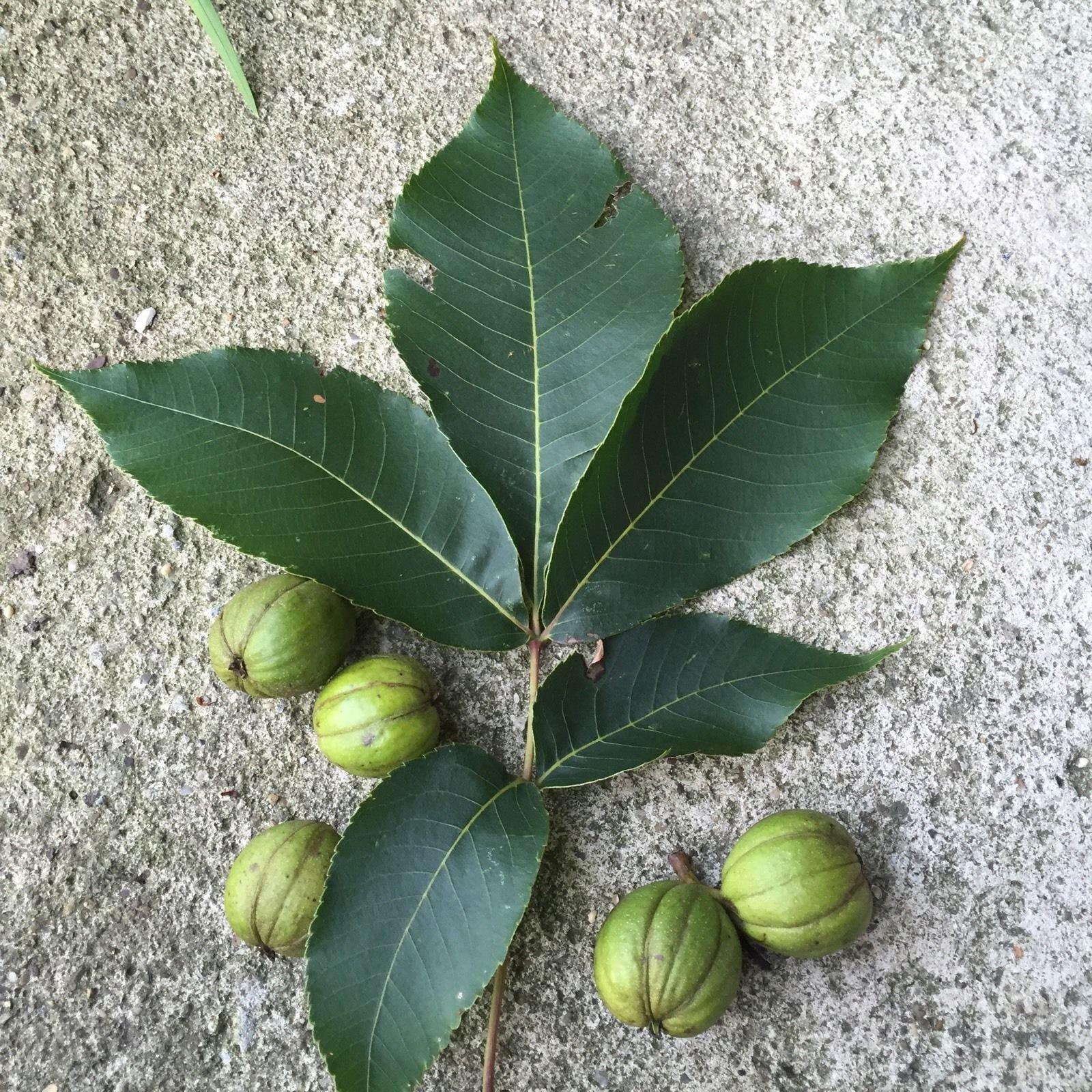 Mockernut