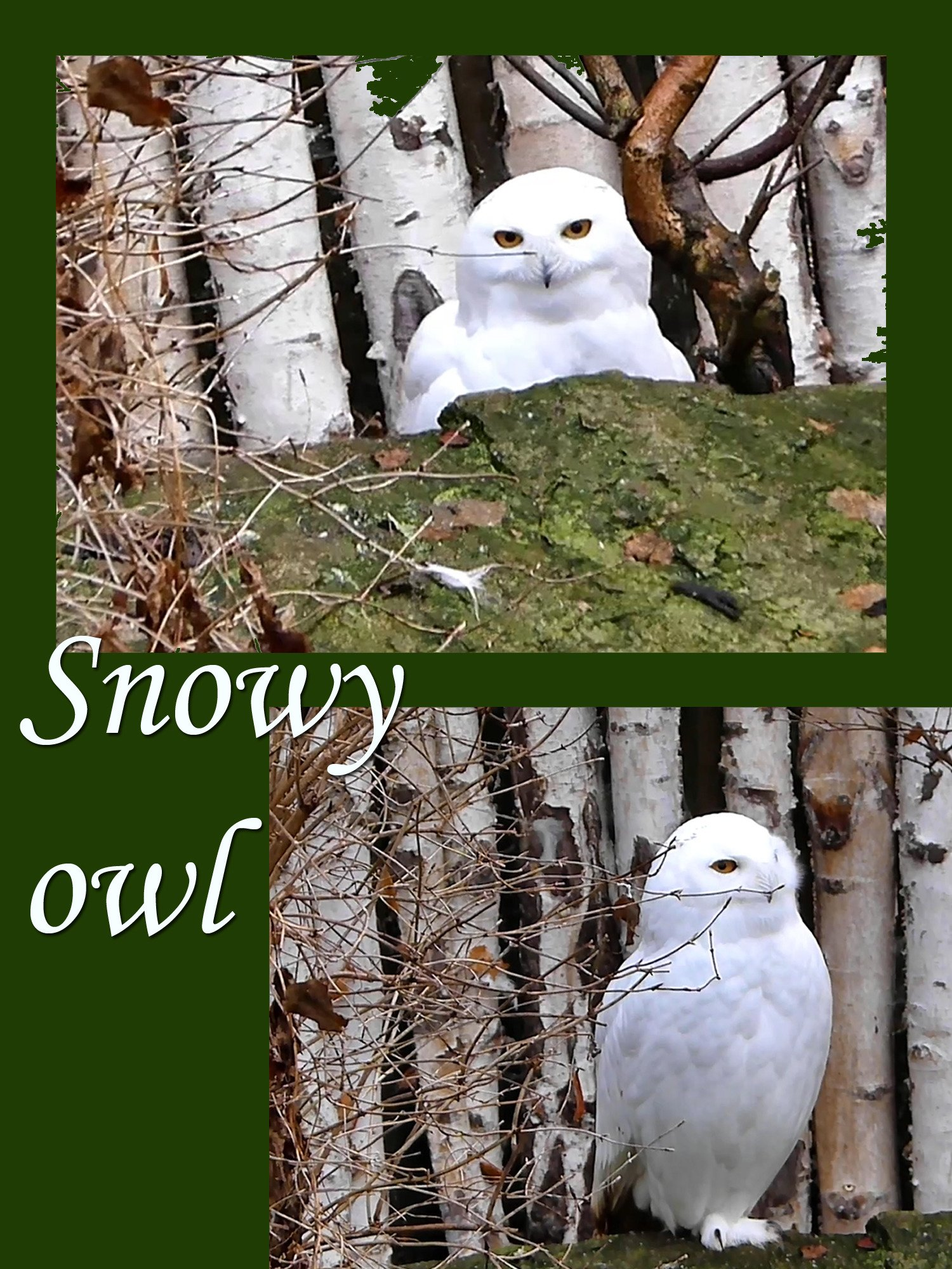 Snowy owl on Amazon Prime Instant Video UK