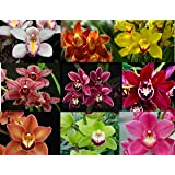 4 Live Cymbidium Orchid Plants t (Cymbidium) (Color: red, yellow, gree, blue, orange, white, pink, Tamaño: small)