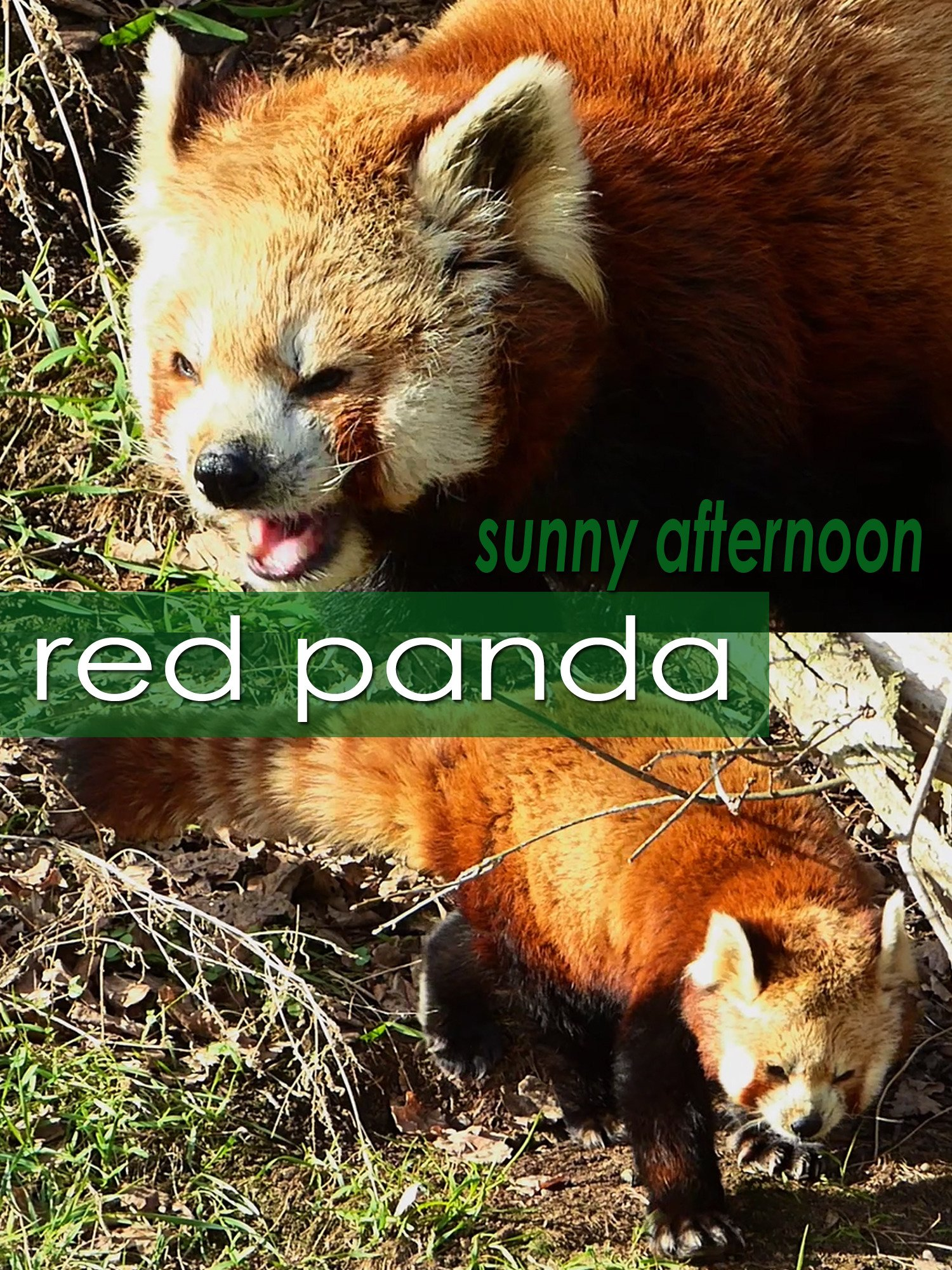 Red panda. Sunny afternoon on Amazon Prime Instant Video UK