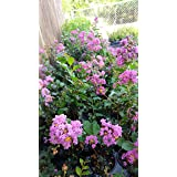 Crape Myrtle Tree - Quart Pot - Approx. 1 foot tall … (Color: Red, White, Pink, or Purple)