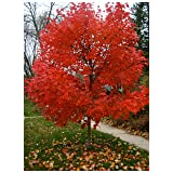 Autumn Blaze Red Maple Tree - Acer saccharinum - Heavy Established Roots - Two Gallon Potted - 1 plant by Growers Solution