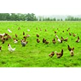Intermountain West Poultry Pasture Blend (500 sq ft) (Color: Eco Region, Tamaño: 500 sq. ft.)