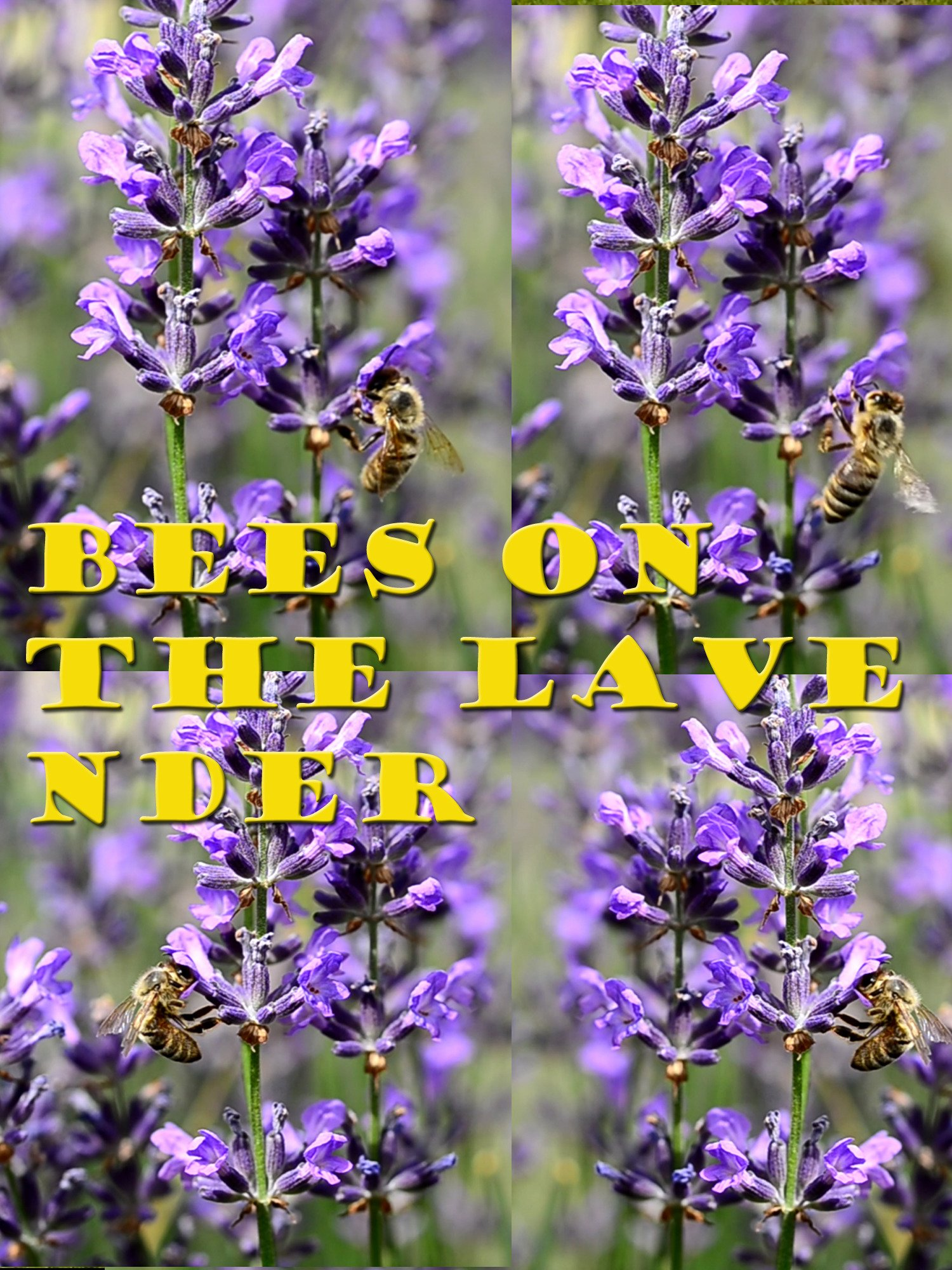 Clip: Bees on the Lavender