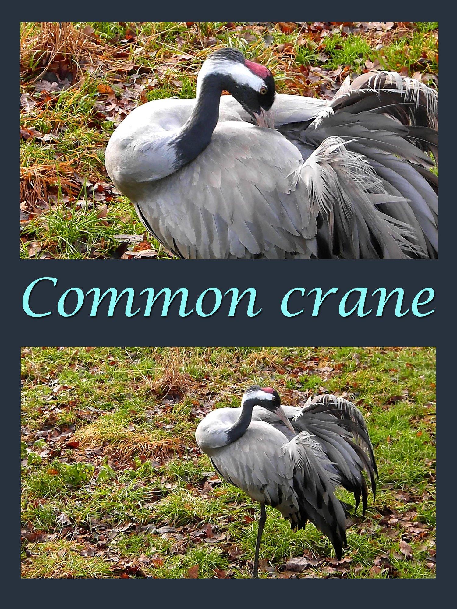 Clip: Common crane