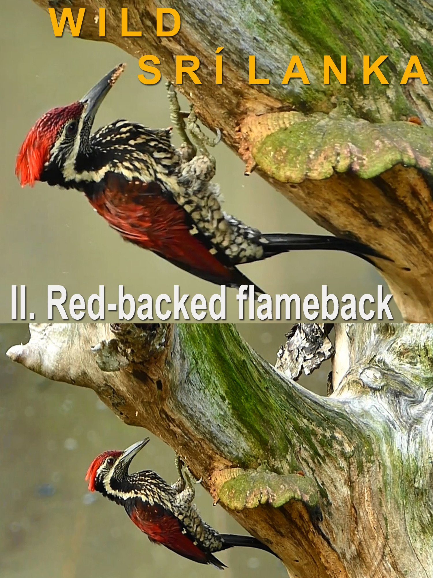 Wild Sri Lanka. II. Red-backed flameback on Amazon Prime Instant Video UK