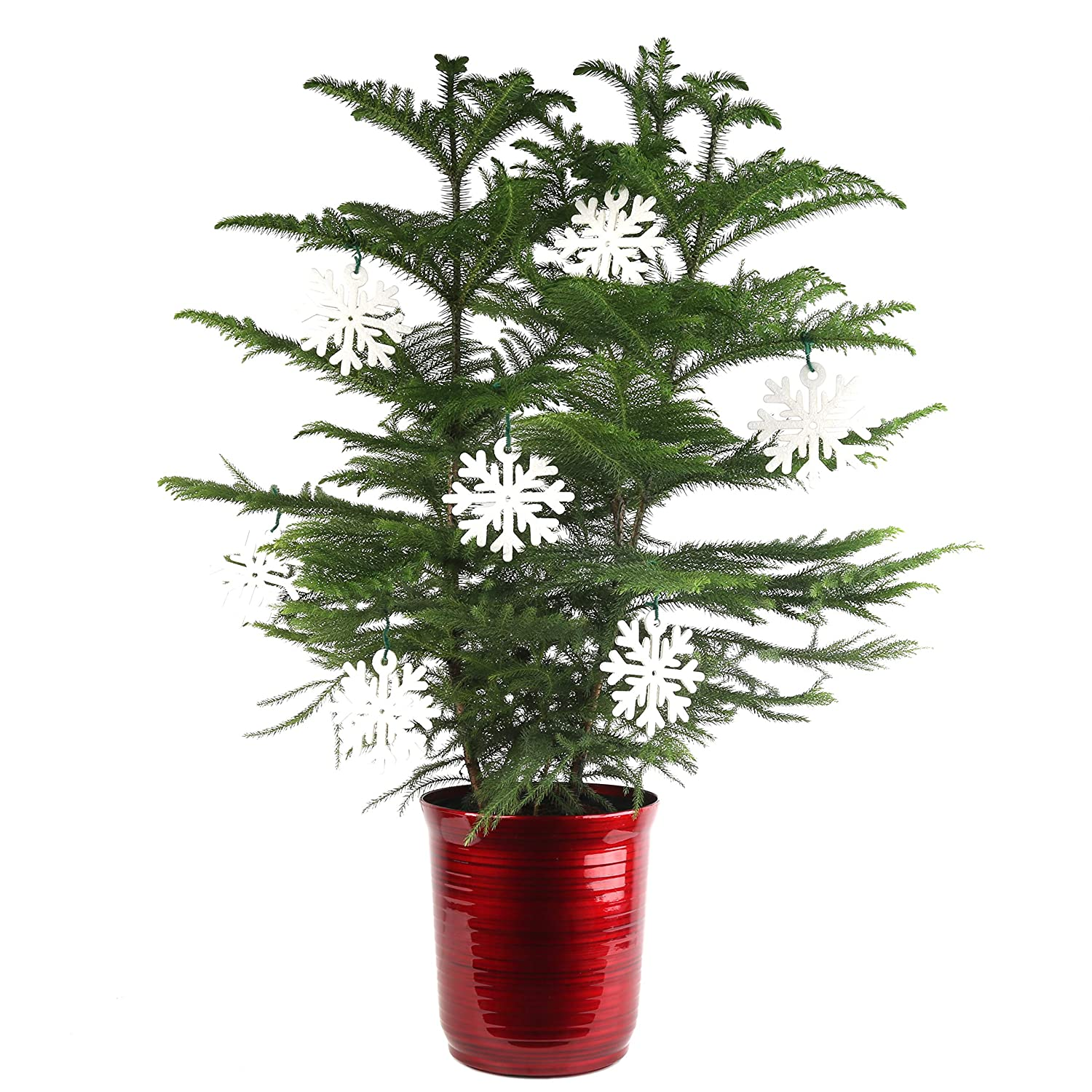 Christmas Trees Norfolk: Tabletop Christmas Trees Advice On Selecting From