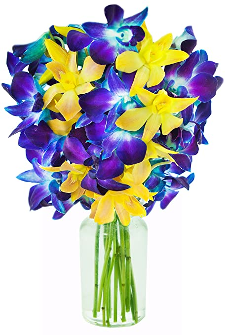 KaBloom | 10 Stems In the Moonlight | Blue & Yellow Dendrobium Orchids | Vase | 2.5 Pound