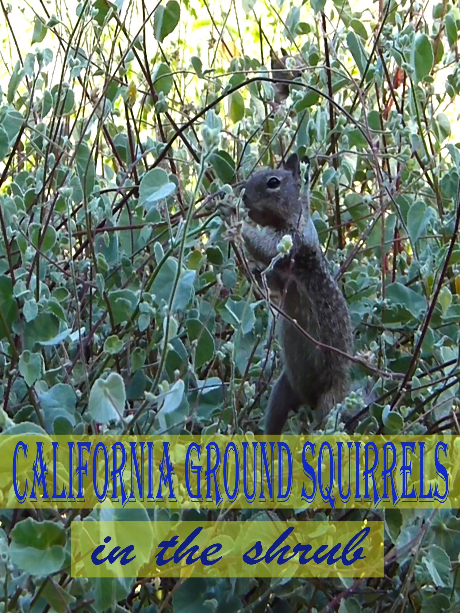 Clip: California Ground Squirrels in the shrub