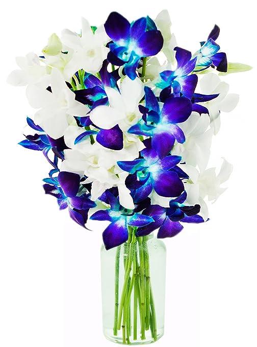 KaBloom   10 Stems Sapphire Diamond Blue & White Dendrobium Orchids   Vase   2.5 Pound