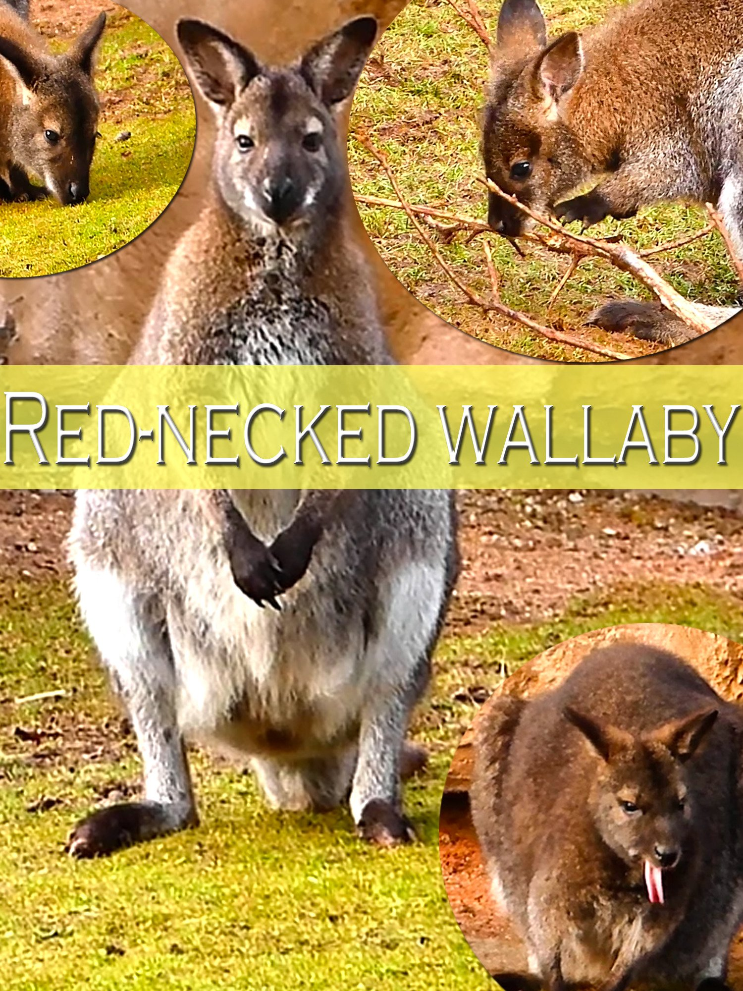 Red-necked wallaby on Amazon Prime Instant Video UK