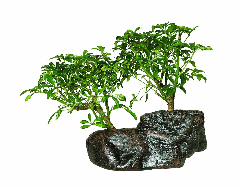 sc 1 st  Jade Bonsai & Hawaiian Umbrella Bonsai Tree: Perfect and Easy to Maintain azcodes.com