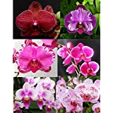 4 Live Orchid Plants to Choose (Phalaenopsis)