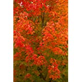 October Glory Red Maple Tree - Shade Healthy Rooted - 1 Plant in 1 Trade Gallon Pot (Color: green, Tamaño: REPELLER51)