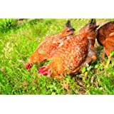 Pacific Northwest Poultry Pasture Blend (1500 sq ft) (Color: Eco Region, Tamaño: 1500 sq. ft.)