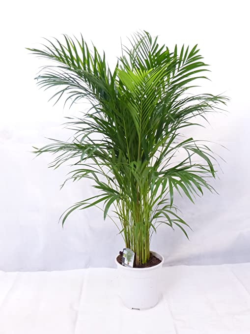 goldfruchtpalme 130 cm chrysalidocarpus lutescens areca palme. Black Bedroom Furniture Sets. Home Design Ideas