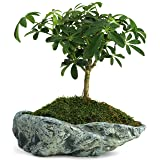 Natural Elements Rock Planter (Basin) – Realistic Woodland-Themed with Intricate Stone Detail + Fiber Soil + Moss Mulch. Grow Succulents, Cactus, African Violets and Bonsai. Striking in Any décor. (Tamaño: Basin)