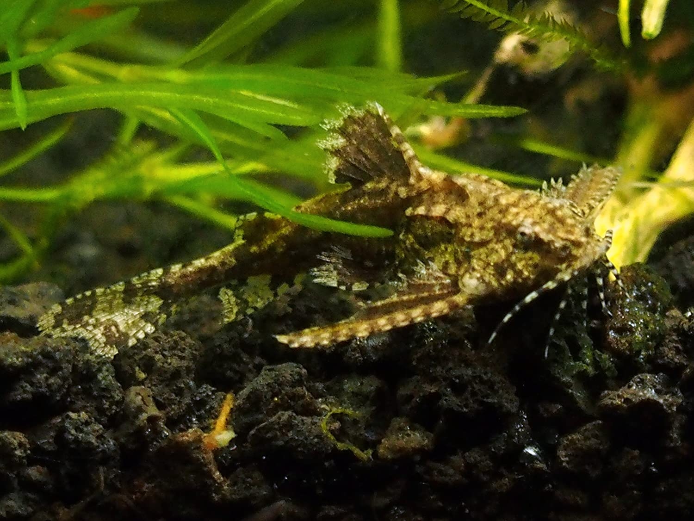 AquaBid.com - Item # fwcatfish1442946006 - 3 Asian Stone Mini Catfish ...