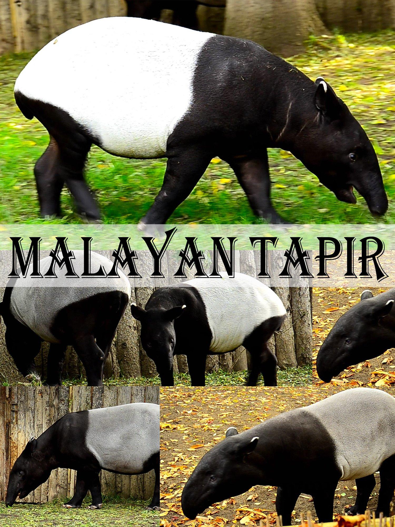Malayan tapir on Amazon Prime Instant Video UK