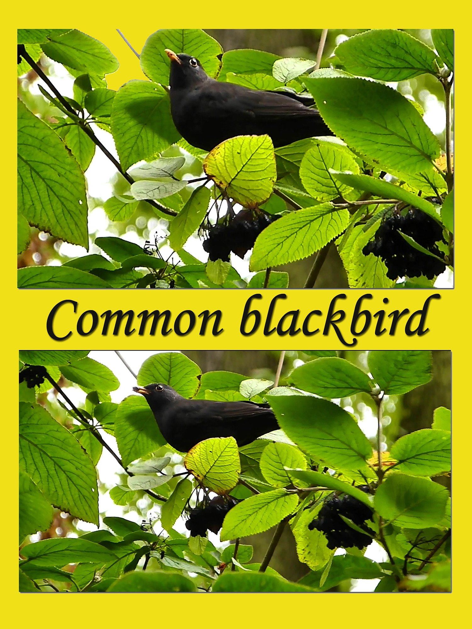 Clip: Common blackbird