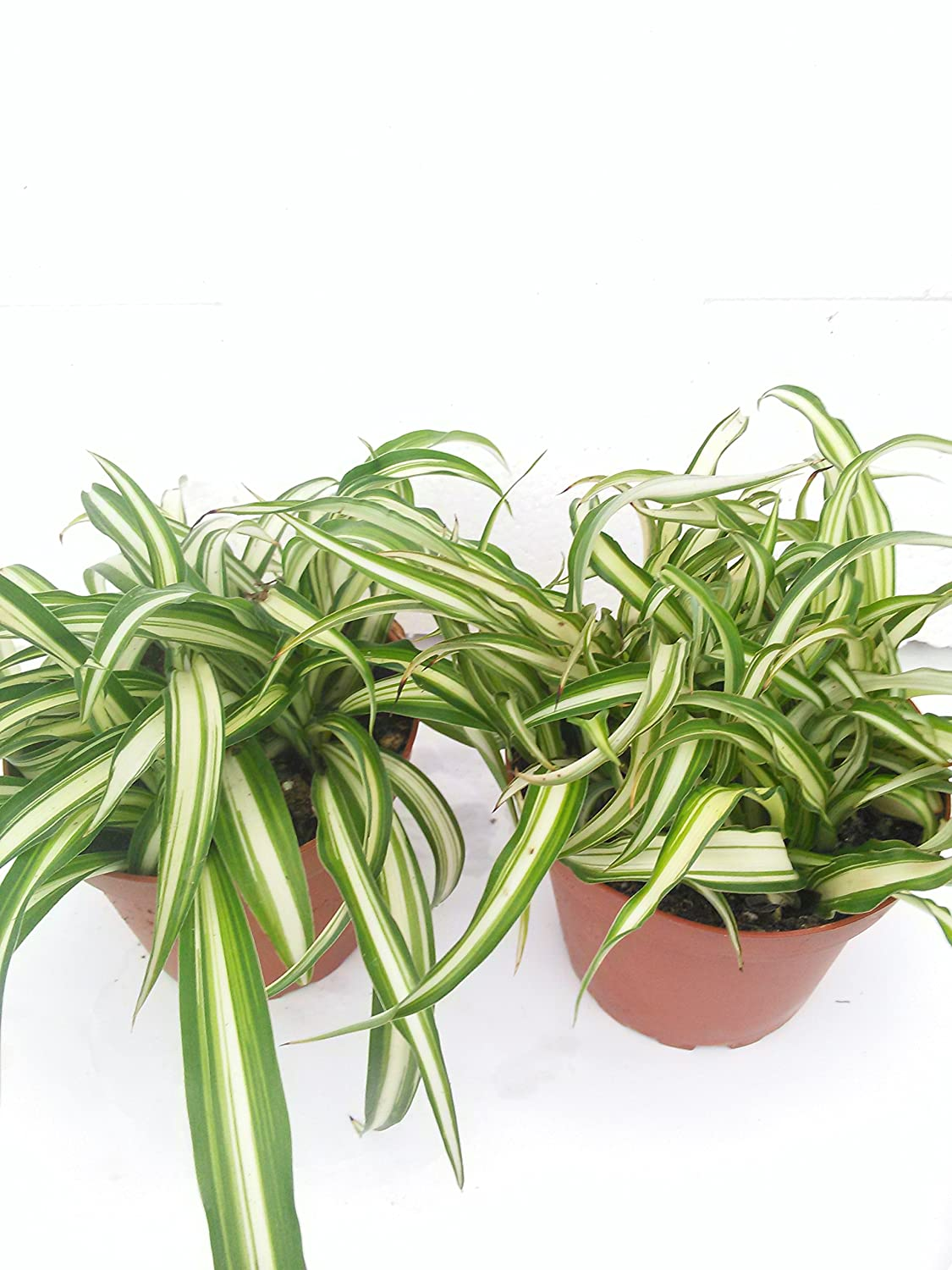 "*Two Ocean Spider Plant Easy to Grow Cleans the Air NEW 4"" Pot"