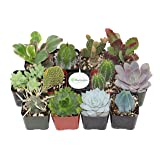 Shop Succulents Cactus and Succulent (Collection of 12) (Tamaño: Pack of 12)