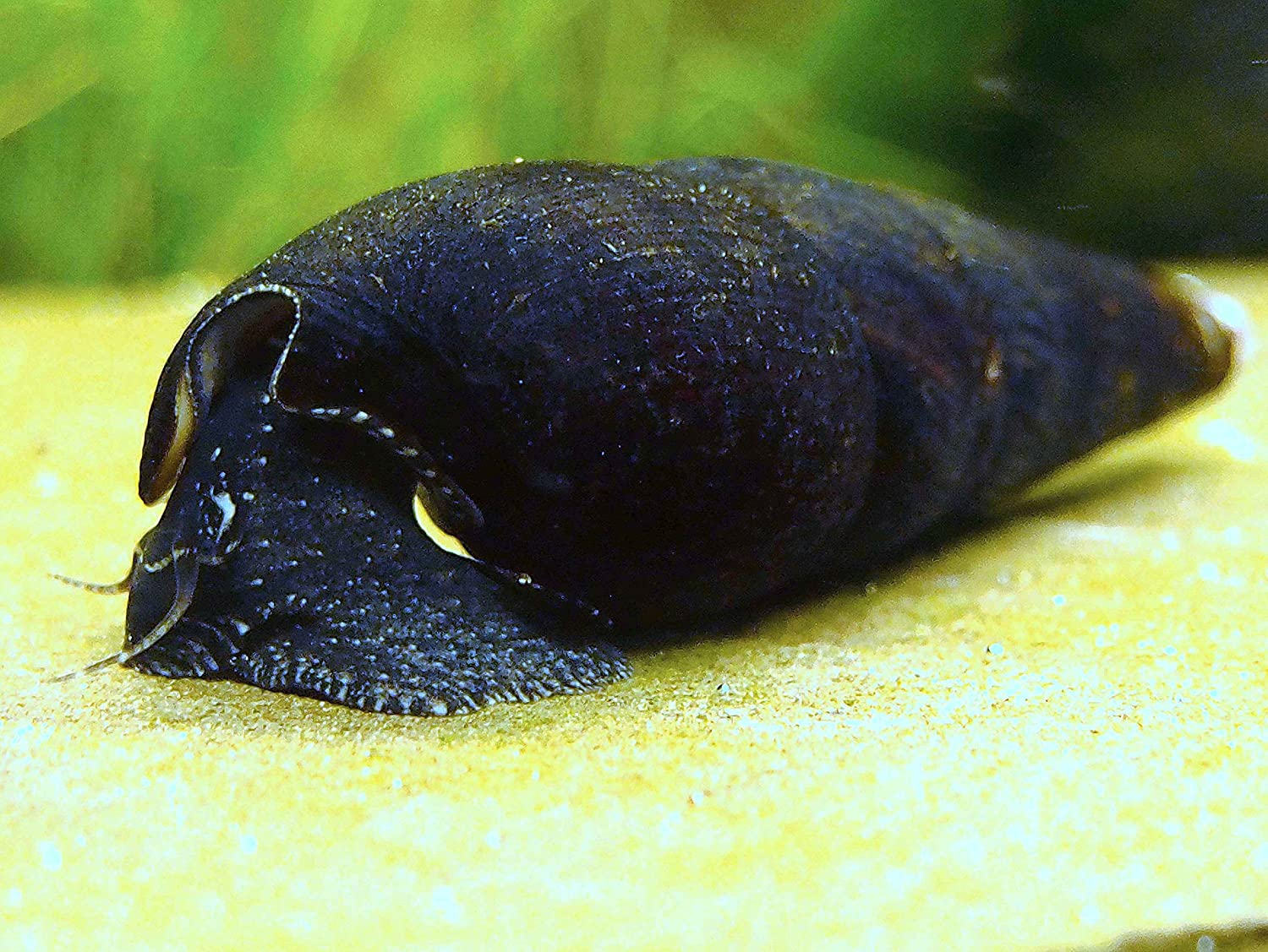 AquaBid.com - Item # fwsnails1434232825 - 3 Black Devil Snails (aka ...