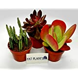 Fat Plants San Diego Large Succulent Plant Collection - Succulents in 4 inch Pots (3)