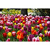 Extra Large Bulb Size - 50 Dutch Grown Tulip Bulbs - Mid-Spring Flowering - Fall Planting - Triumph Tulip - Mixed Colours (Color: Multi)