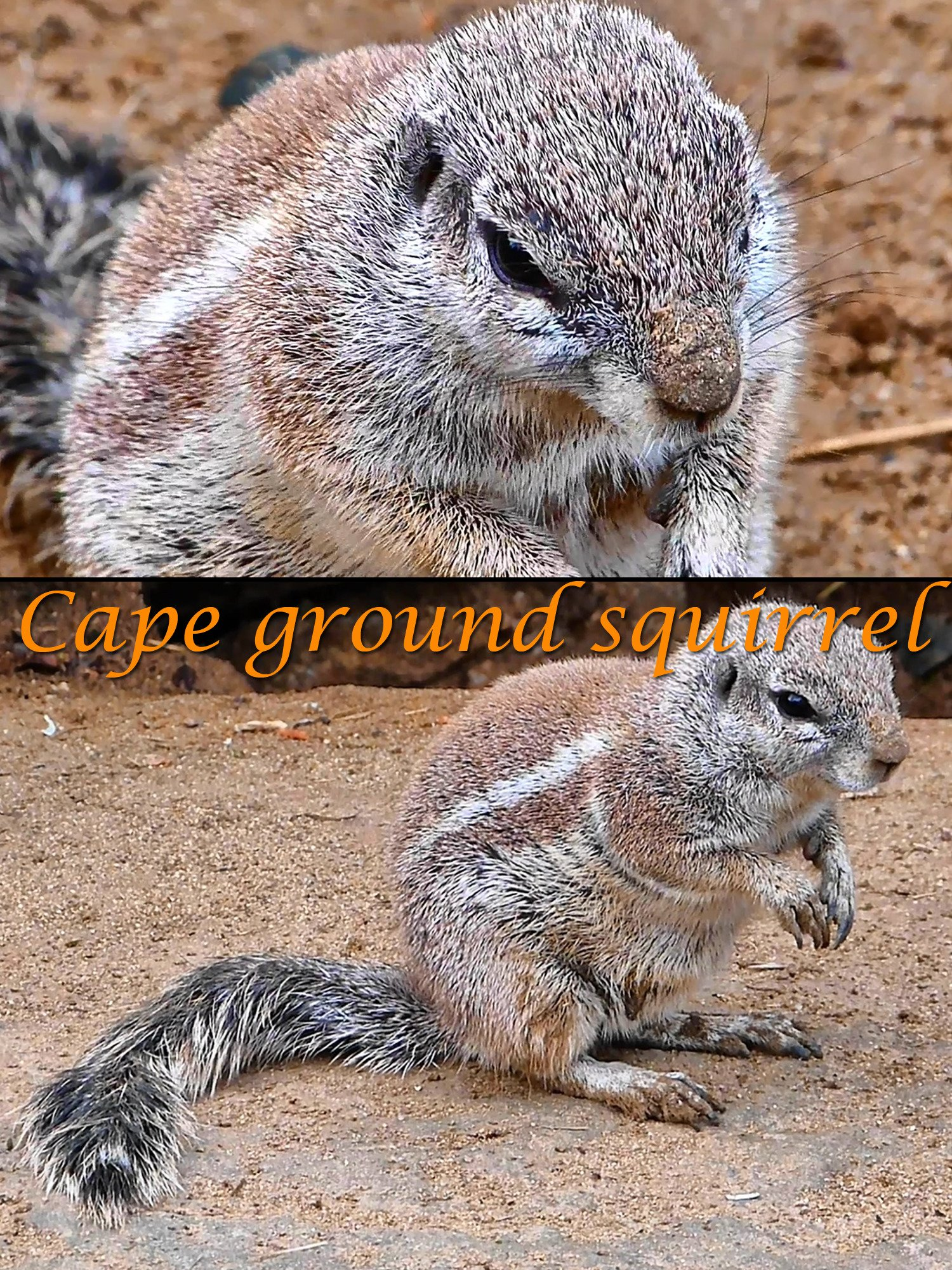 Cape ground squirrel on Amazon Prime Instant Video UK