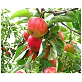 Gala Apple Tree Semi-Dwarf - Healthy - Established - 1 Gallon Trade Pot - 1 Each by Growers Solution (Color: Pink)