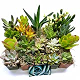 Fat Plants San Diego Succulent Plants (20) (Color: red, orange, yellow, green, blue, purple, pink)