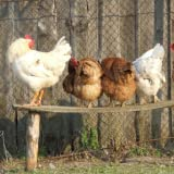 91fbZJBtXlL. SL160  Raising Chickens