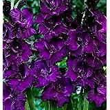 Purple Mate Gladioli (20) Beautiful Flowering Perennials, Sword Lily, Gladiolus Bulbs
