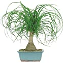 Brussel's Ponytail Palm Bonsai Tree