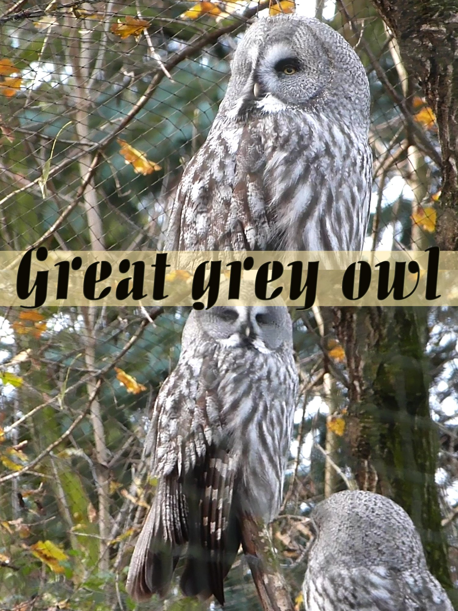 Clip: Great grey owl
