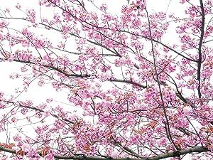 Berlintapete  Wallpaper On Demand  Fototapete  Flora  Kirschblüten 4 Nr. 3224   Kundenberichte und weitere Informationen