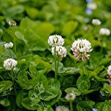Outsidepride White Dutch Clover Seed: Nitro-Coated, Inoculated - 10 LBS (Color: White, Tamaño: E) 10 LBS)