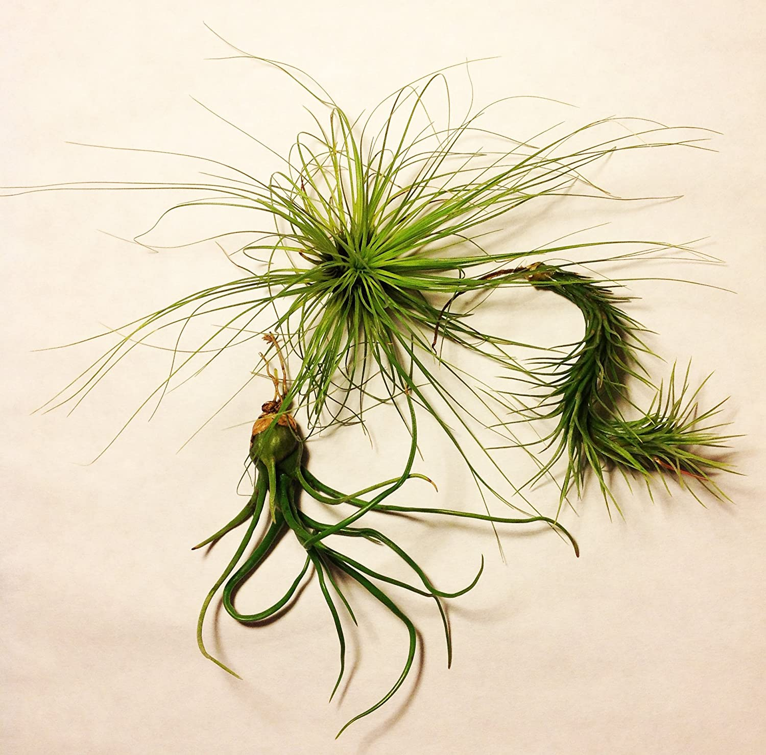 Tillandsia Variety 3-pack - 3 Air Plants